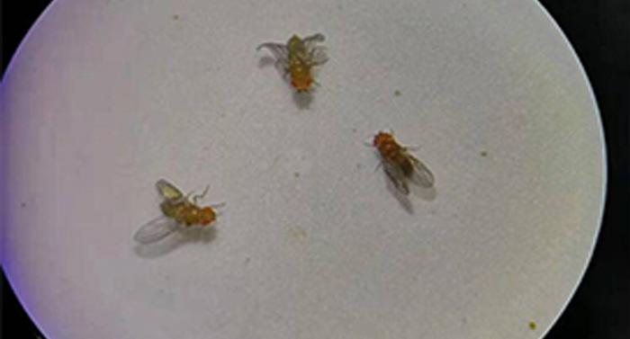 体视显微镜应用于华侨大学泉州分校果蝇观察