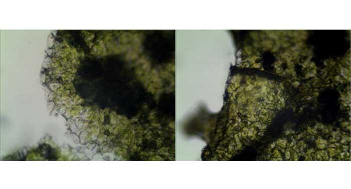 普通显微镜升级成荧光显微镜|显微镜摄像头|显微镜接口应用于农业