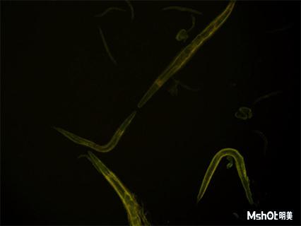 明美倒置荧光显微镜助力广东药科大学线虫观察2.jpg