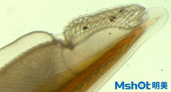 文昌鱼一般用什么显微镜观察?