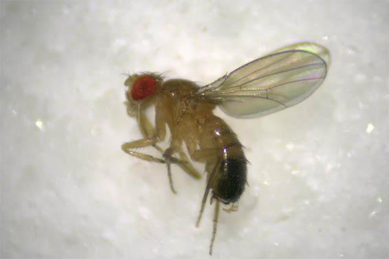 明美体视显微镜用于观看果蝇