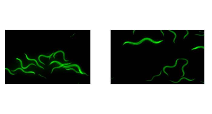 【科普】荧光显微镜用于秀丽线虫观察