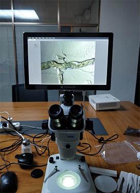 体视显微镜用于黑水虻解剖观察