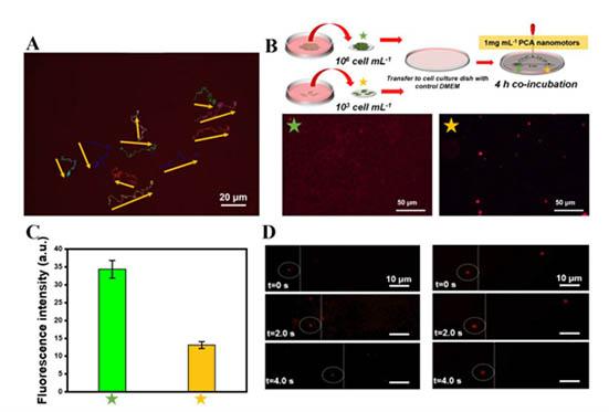 "《Angew. Chem》速递:明美倒置荧光显微镜看纳米马达如何""千里投毒"",杀死肿瘤细胞"