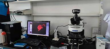 明美显微镜相机MSX11用于免疫荧光切片的成像