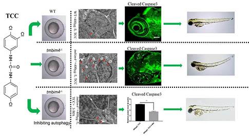 明美荧光显微镜助力三氯卡班对斑马鱼胚胎影响的研究